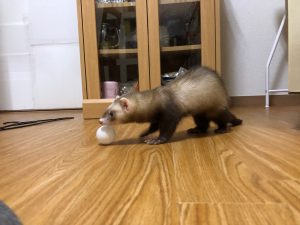 ferret-play-chase