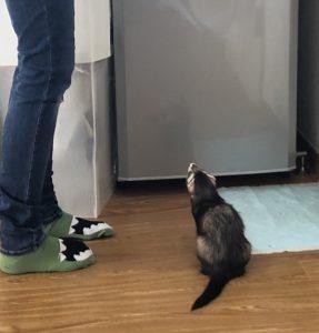ferret-bond-stalking