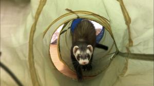 ferret-toy-green-tunnel