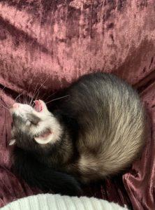 ferret-bond-yawning