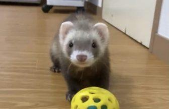 ferret-catch