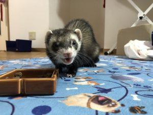 ferret-bond-feeding