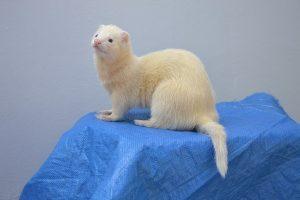 ferret-proofing-high