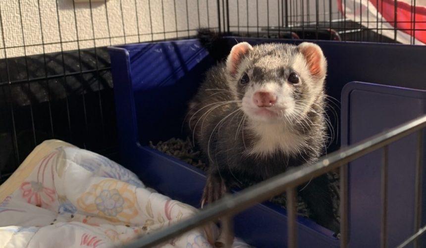 ferret-toilet-catch